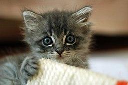 256px-Cute_grey_kitten