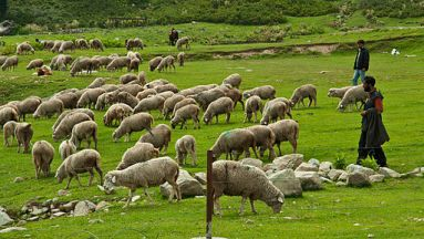 512px-Herd_of_sheep