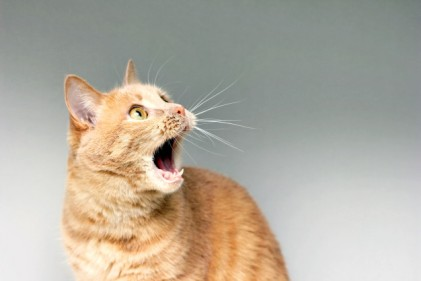 surprised-cat-amazement-cat-open-your-mouth-surprise-extreme-degree-surprise-frightened-cat-be-shock-stupor_116815-404